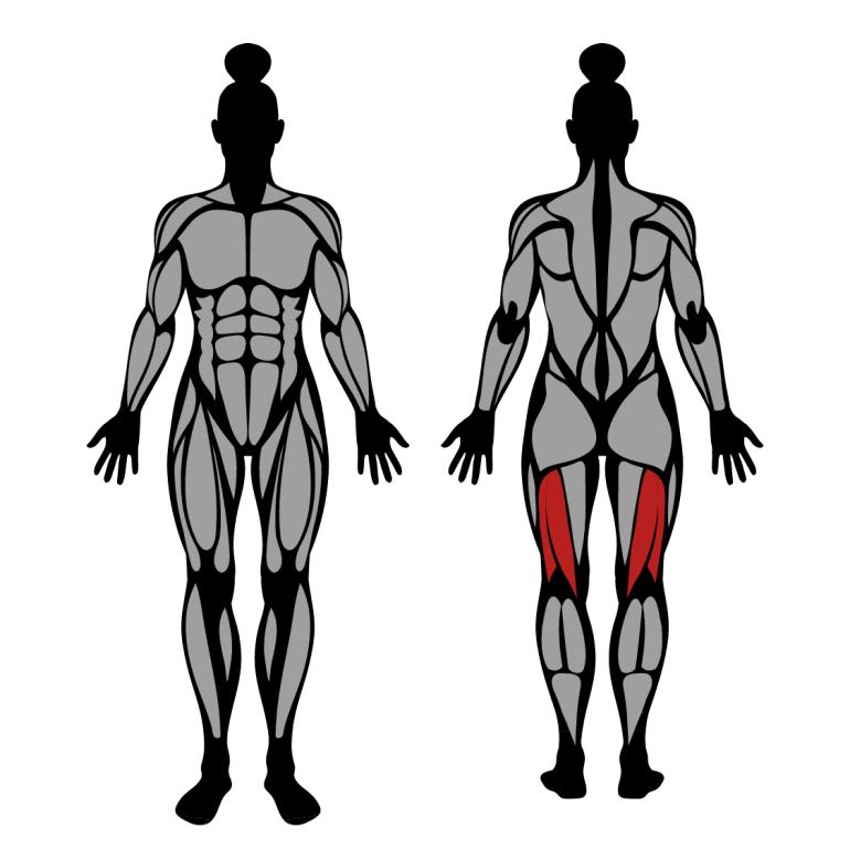 Muskler som tränas av sittande lårcurl