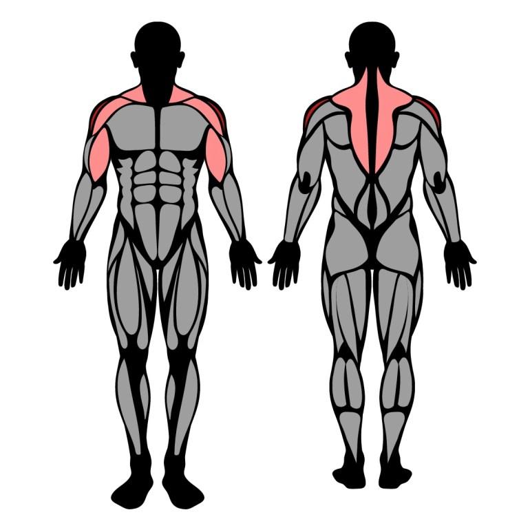 Muskler som tränas av stående drag till hakan