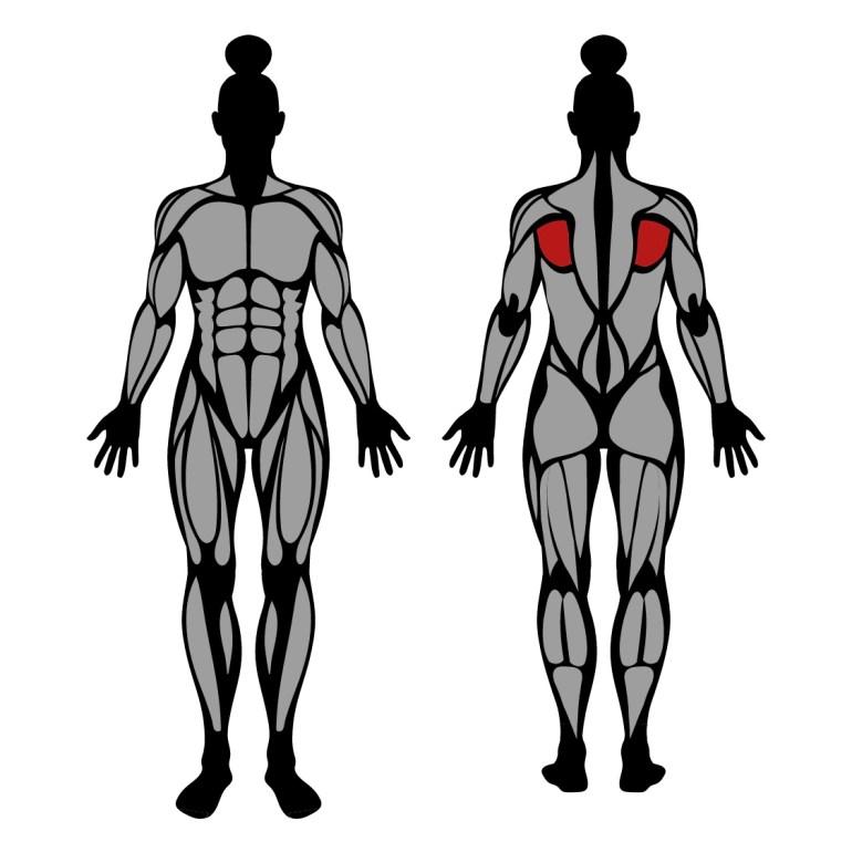 Muskler som tränas av utåtrotation
