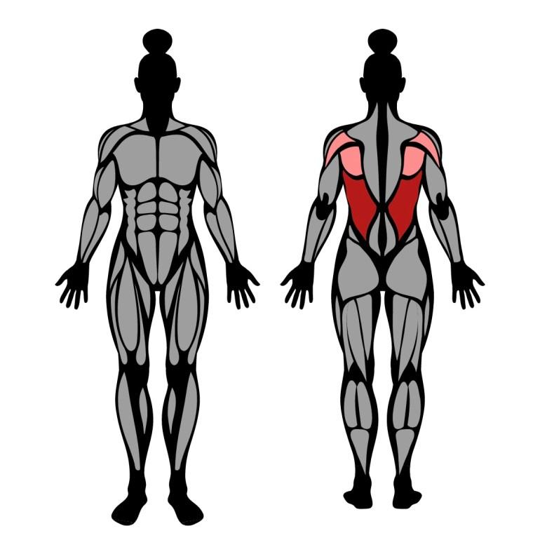 Muskler som tränas av latsdrag med raka armar