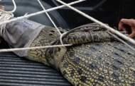 Mencari Ikan Warga di Pelalawan Disambar Buaya Tubuh Hilang Separoh