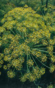 dill inflorescence