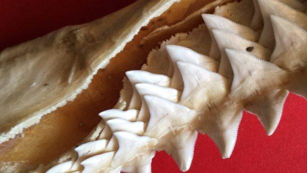 dientes tiburones