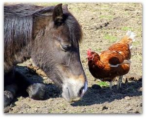 Konj i koka