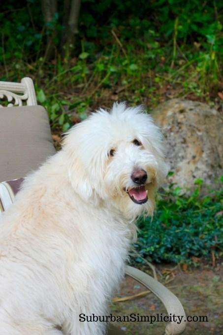 Goldendoodle-in-backyard