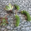 small succulents on stone background with great roots