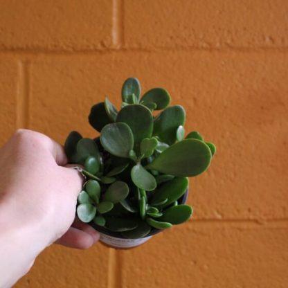 trailing jade succulent