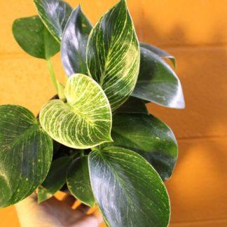 birkin leaf