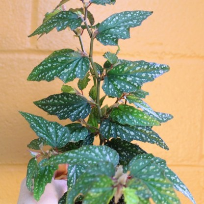 small leaf begonia