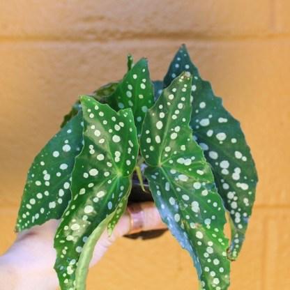 large leaf begonia