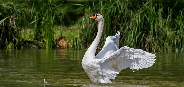 Intelligent Swan story