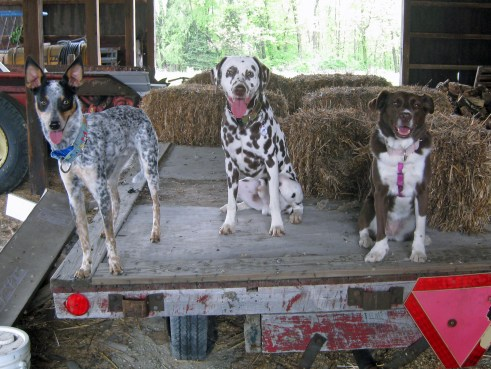All three pups hop up onto the flat bed trailer for a quick photo!