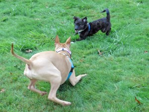 Loki even convinced Valentine, a pit bull, to play with him and she doesn't play very often!