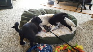 Oswin and her littermate playing at 9 weeks old