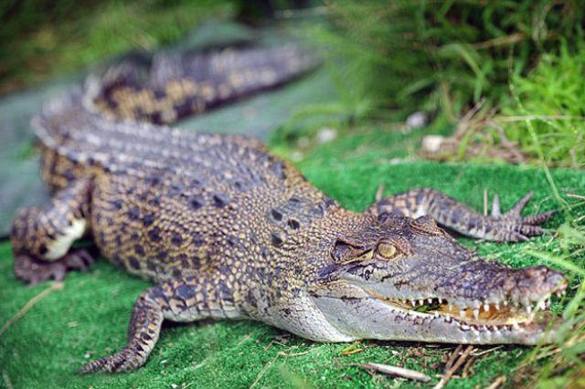 بالصورة:فلاح يقتل تمساحاً عملاقاً التهم زوجته الحامل