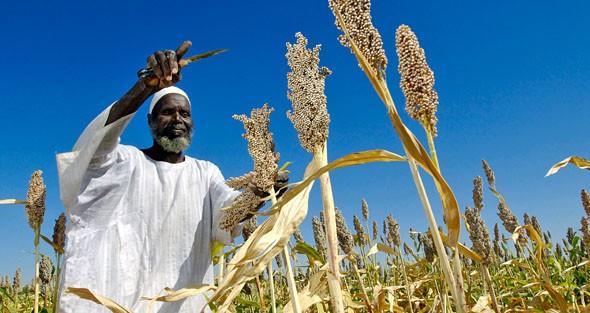 تحالف المزارعين: إنتاج الذرة ضعيف والعروة الصيفية (فاشلة)
