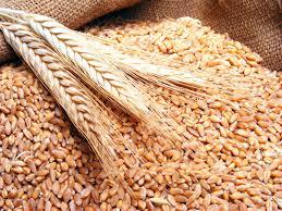 انطلاق عمليات حصاد القمح بعدد من الولايات