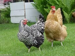 أميركا.. حل غريب لمشكلة ارتفاع أسعار البيض.. دجاج للإيجار..!