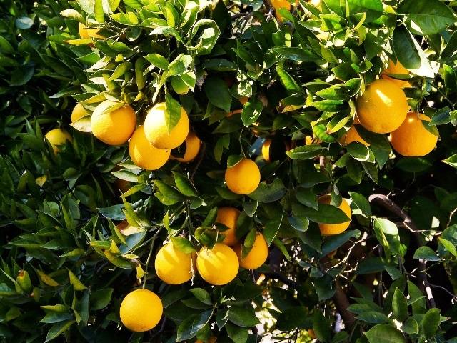 حظر استيراد البرتقال المصري لإصابته بذبابة الفاكهة