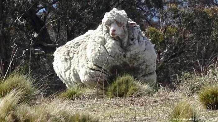 الخروف الأكثر صوفا في العالم- استرالي!