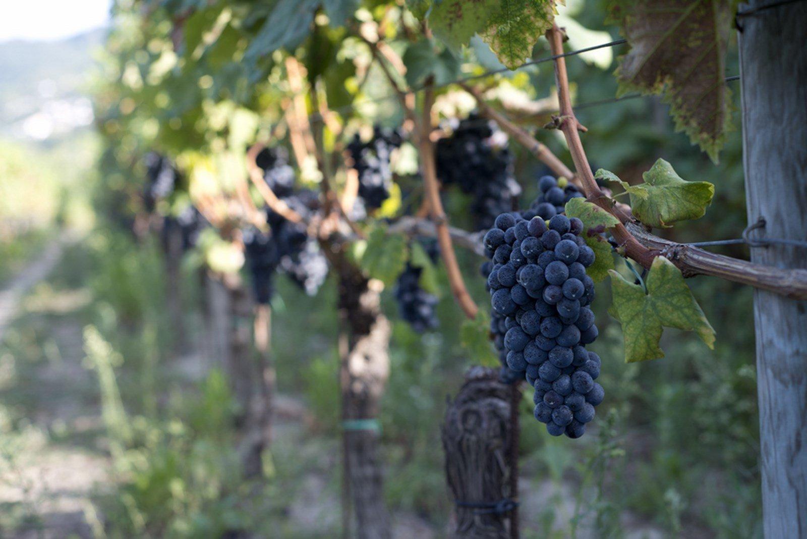 Il Piedirosso: un vitigno da domare