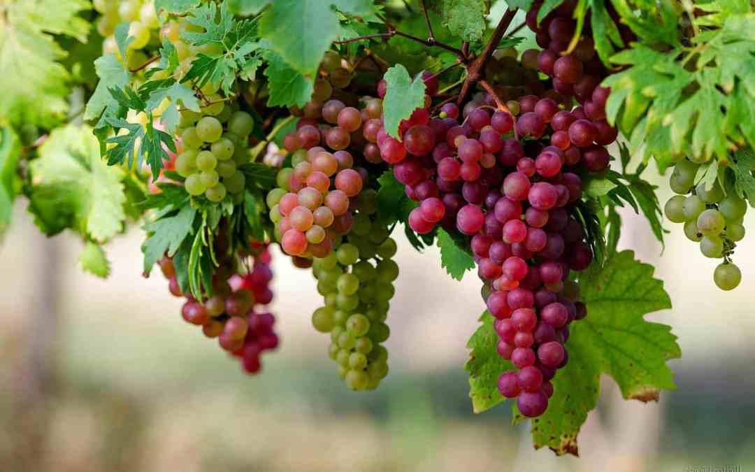 Grapes – a staple Biblical food