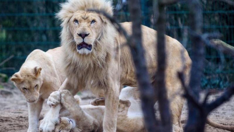 Coronavirus: un gorille et deux lions contaminés par le Covid-19 dans un zoo en Tchéquie