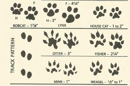 bobcat to weasel tracks