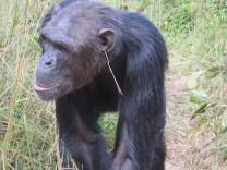 Kultur bei Tieren: Der letzte Schrei im Urwald