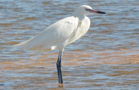 01-22-2014 365 Great Egret