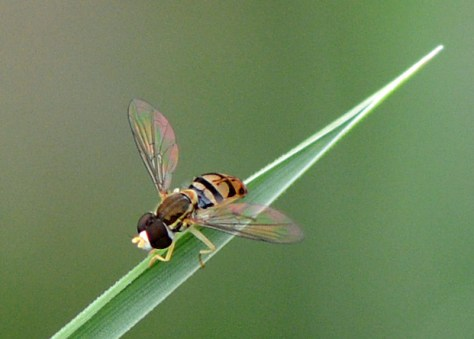 06-06-2014 Hoverfly 2