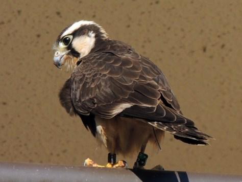 Aplomado Falcon 053reduced