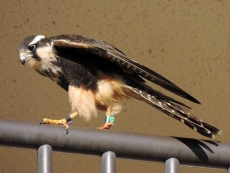 Aplomado Falcon 054reduced