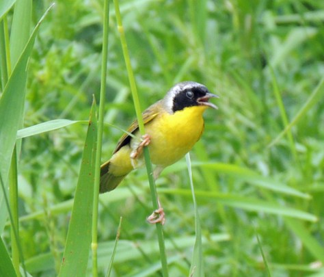 CommonYellowThroatedW