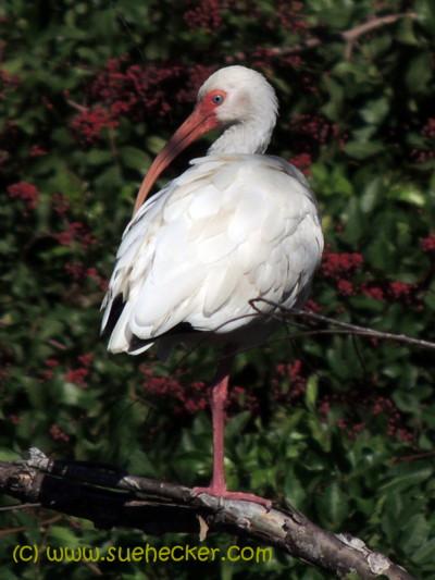 White Ibis blog