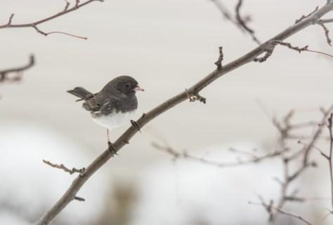 snowy dark eyed junco