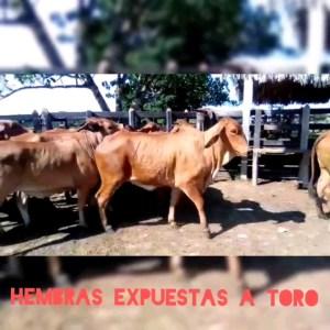 19 Hembras brahman rojo expuestas a toro de380 a 385kgs