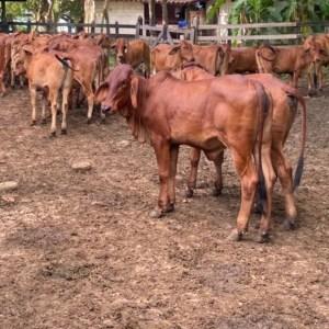 28 hembras Brahma Rojo de 280 a 300kg