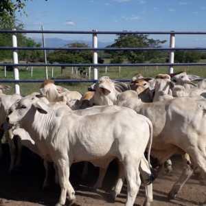 lote de hermosas novillas BRAHMAN blancas comerciales, hijas de toros puros, topizadas, un solo hierro