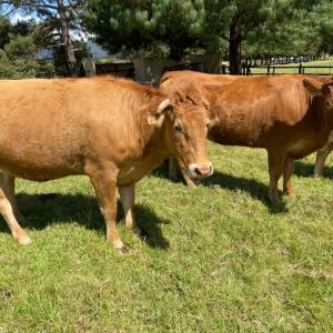 Venta de 5 vacas Limousin