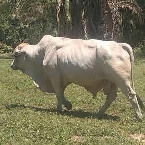 Vendo 8 toretes edad 2 años  cualquier propósito raza charolais x brahman 510 kg $4700kg