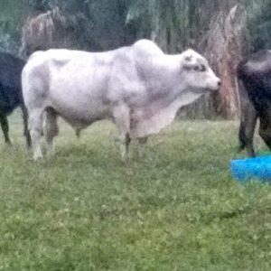 Vendo excelente toro edad 5 años cualquier propósito raza charolais x brahman 670kg
