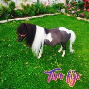 Hermoso poni mini horse