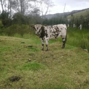 Toro normando