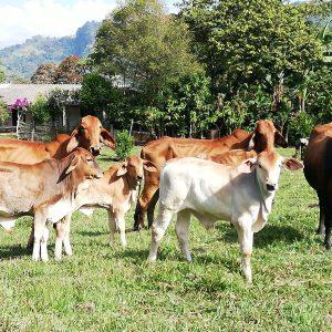 Vendo terneros destetos, novillas, vacas de cría, un toro