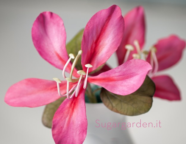 Hong Kong Orchid