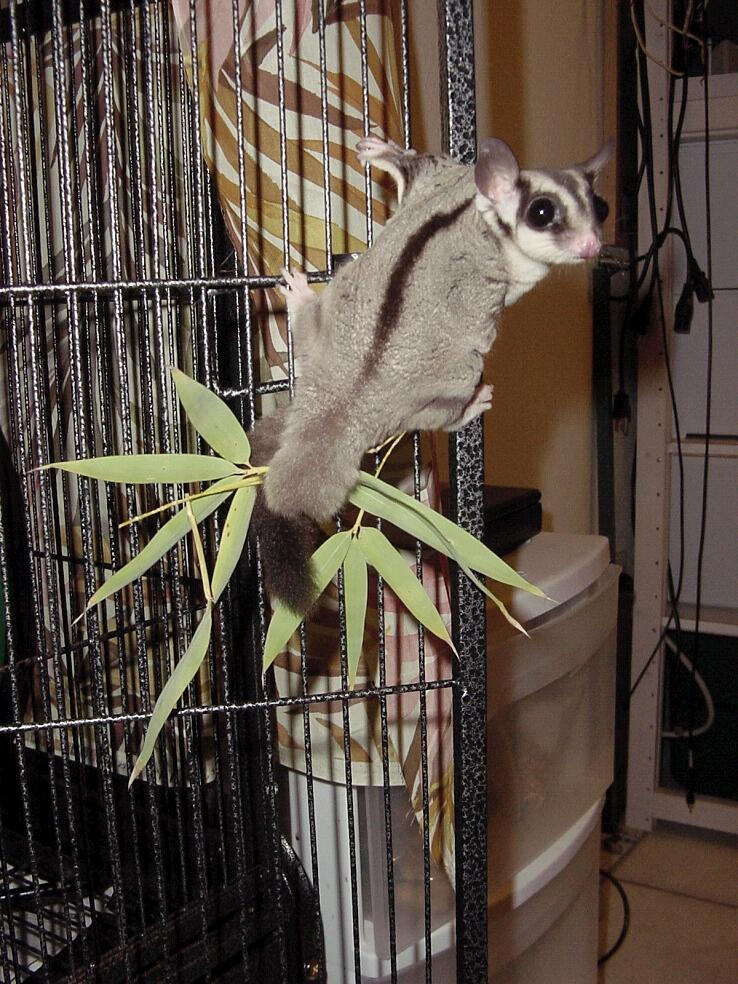 Gliderpedia QuestionHow Long Is A Sugar Glider Tail
