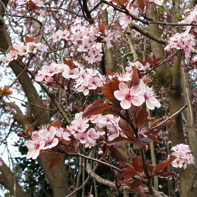 Happy first day of spring #springishere #flowers #iloverome #pinkflowers #cherryblossoms