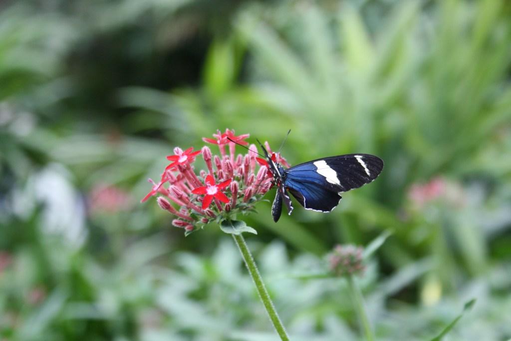 papillon dans la ferme de Lapaz