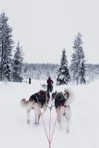 Huskey Sledding